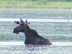 Mainely Photos Moose & Photo Tours