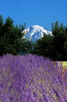 Hood River Lavender