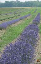 Terra Lavanda