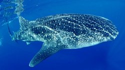 Cancun Whale Sharks Encounters