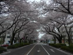 Sagamihara City Hall Sakura Street