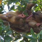 Young male Kinkajou