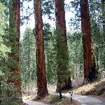 Sequoya's giant redwoods