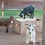 The Farmer's goats