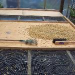 Drying coffee at the farm