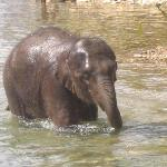 Dambo the baby elephant taking a bath