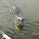 Gator next to the airboat