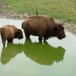 Buffalo on the Swamp Buggy Tour