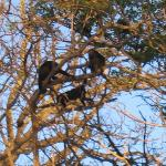 Howler monkeys in the trees next door!