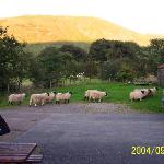  Sheep outside my window