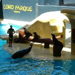  Loroparque. The seal show.
