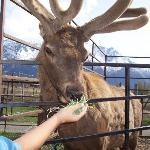 Feeding Grass to the Elk