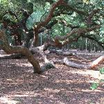 1400 year old Angel Oak