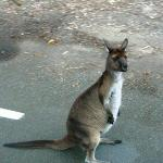  KI Kangaroo, unique to the island