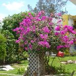  Bouganvilla in Maya courtyard 3/05