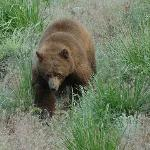 Cinnamon colored black bear, walking distance to Roosevelt Lodge