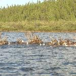  Caribou crossing lake in front of lodge
