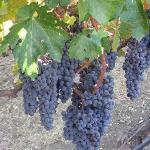 Grapes on the Vine at Opolo Vineyards