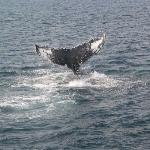 Humpback Whale Tail (Whale Named Nile)