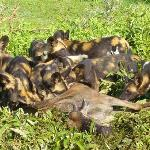 Wild dogs and  gnu