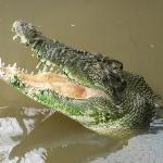 Just a croc waiting for feeding
