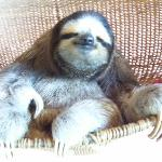 Buttercup, the resident sloth
