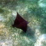 Eagle ray at Smith's Reef where we saw many