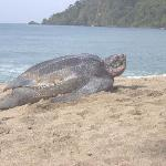 Leatherback turtle we saw in the morning.