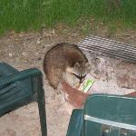 Raccoon caught stealing