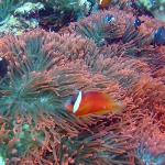 clown fish in the Bligh Waters