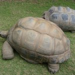  Giant Tortoise