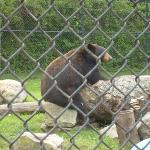 Black Bear sitting Down