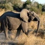 sunset game drive: adolescent male elephant