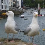  Giant seagulls in Fowie!