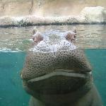 Happy hippo at FREE zoo