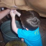 my  son milking the cow at the science place