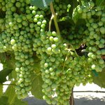 Edna Valley Winery grapevines