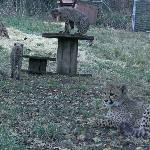  Cheetah Cubs at Wildlife Safari