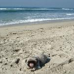  Pekingese dog on beach