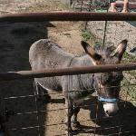 Micah the miniature donkey