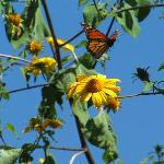 Monarch Butterfly in Zitacuaro