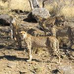 Cheetahs on the Big Cats Tour