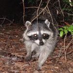 A racoon that was checking out our campsite