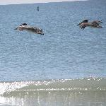  pelicans feeding in water out from Gulfview manor