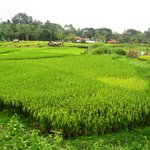 Chiang Mai paddy fields