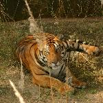 Our first tiger at Kanha