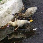 Baby Ducks Playing After Rain
