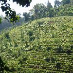 view of tea plantation
