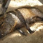 Collared Peccary sleeping under picnic table Tortuga Island 8/05