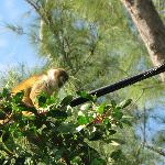 Friendly Brazilian Squirrel Monkey